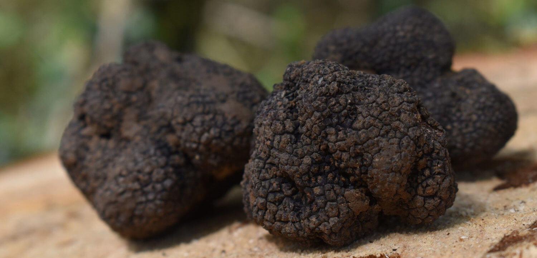 vente de truffes blanches d'été